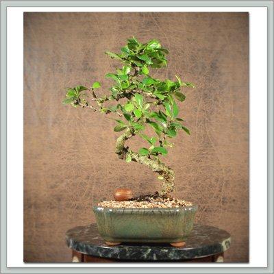 Fukien Tea Bonsai Tree Recession Special IX