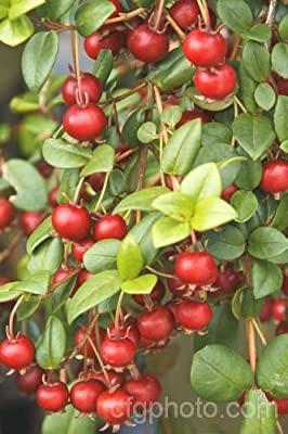 "Ugni Molinae ""Chilean Cranberry Bush"" 5 Seeds"