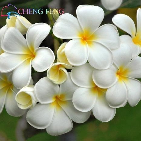 100 PCS Seeds Japanese Style Plumeria Plants Potted Bonsai Home Garden 2019 New