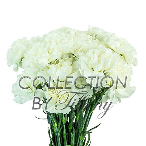 Fresh Flowers for Garland, Floral Arrangement, Birthday, Anniversary & Funeral 25stems per Bunch Long Lasting (White)