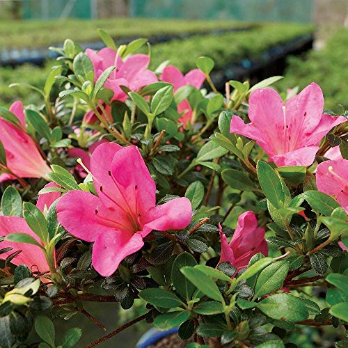 Brussel's Bonsai Live Satsuki Azalea Outdoor Bonsai Tree-5 Years Old 6'' to 8'' Tall with Decorative Container, Small, by Brussel's Bonsai (Image #2)