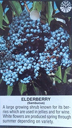 ELDERBERRY Shrub 2 gal. Live Plant Healthy Berries Amino Acids Berry Plants Wine by tans_treasures