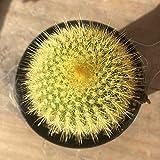 "2.5"" Golden Ball - Notocactus Leninghausii - Live Cactus"