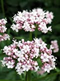 250 VALERIAN (Garden Heliotrope / Heal All) Valeriana Officinalis Herb Flower Seeds