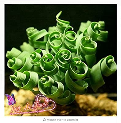 fino shop 50 Seeds / Pack, Albuca Namaquensis Spiral Grass Seed Shape Like Spring Interest Bonsai Plant
