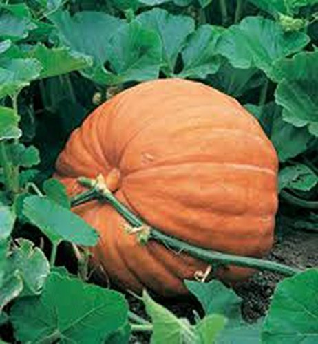 1 Bag Big Max Pumpkin Plant Seeds, Organically Giant Pumpkin for Daily Pies Making and Halloween ()