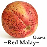 ~RED MALAY~ Psidium guajava RED FLESH GUAVA FRUIT TREE Live potted small plant