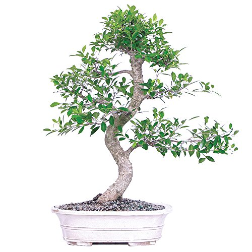 Brussel's Bonsai ST7014GGF-A Golden Gate Ficus Specimen Bonsai by Brussel's Bonsai