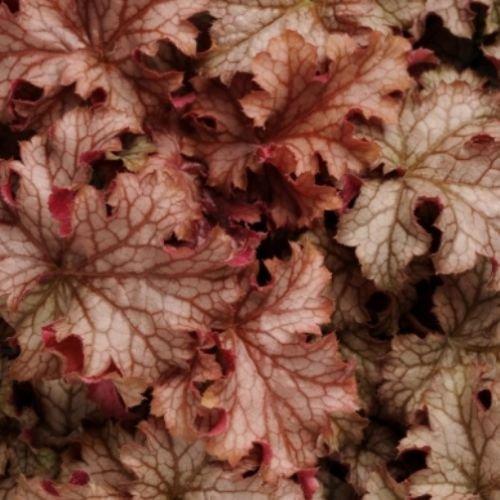 heuchera CARNIVAL PEACH PARFAIT villosa Coralbells 2.5