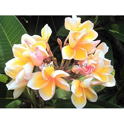 """SUVAN DELIGHT"" FRAGRANT PLUMERIA'S CUTTING WITH ROOTED 7-12 INCHES REGISTERED TRACK ONLINE 100%GUARANTEE SATISFICATION for cheap"