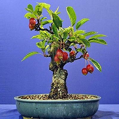 HOTUEEN 20Pcs Bonsai -Seeds Vegetable Fruit Tree Plants Seeds Home Garden Outdoor Flowers : Garden & Outdoor