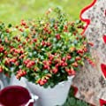 """Details About Bush Lingonberry RED Candy Berry Cowberry Shrub 2.5"""" Pot = 1 Live Potted Plant"""