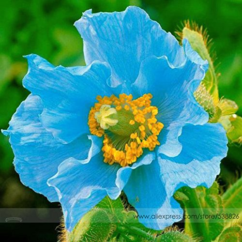 (Hot Selling!!! Rare Blue Himalayan Poppy Seeds, Professional Pack, 100 Seeds / Pack, Very Beautiful Hardy Flower)