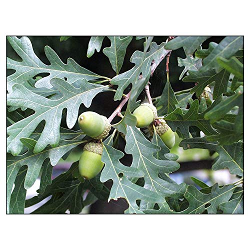 White Oak Tree Quercus alba Heavy Established Roots, used for sale  Delivered anywhere in USA