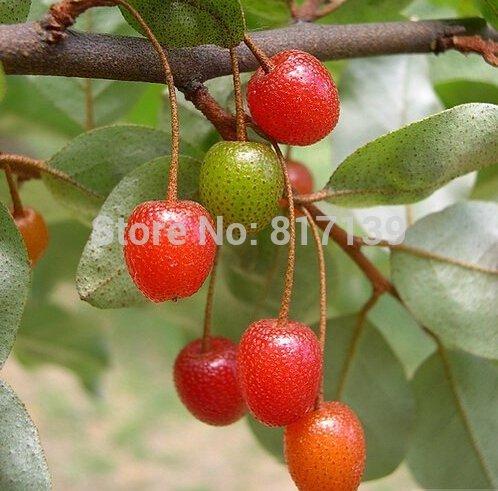 Autumn Olive Shrub - 2