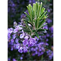 Rosemary (Rosmarinus Officinalis L.) Herbal Plant Heirloom, 80 Seeds