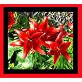 "Lilium asiatic - Asiatische Lilie "" Original Love """
