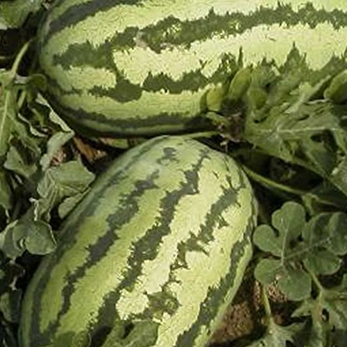 Watermelon Garden Seeds - Jubilee - 5 Lbs Bulk - Non-GMO, Heirloom Vegetable Gardening Fruit Melon Seeds by Mountain Valley Seed Company (Image #2)
