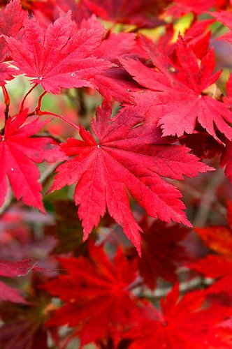 Korean Maple - Tolerates Extreme Cold, Surviving In Climates Where Japanese Maples Cannot, Hardy to -40F - 2 Year Live Plant by Japanese Maples and Evergreens (Image #3)