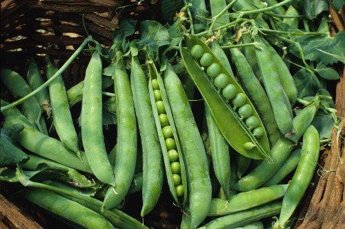 (Seed Kingdom Pea Green Arrow Great Heirloom Vegetable Bulk 1,200)