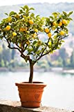 Brighter Blooms Improved Meyer Lemon Tree, up to 5 ft. tall, Get Fruit 1st Year, Dwarf Fruit Tree with Sweet Lemons, Indoor/Outdoor Live Potted Citrus Tree