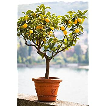 brighter blooms improved meyer lemon tree up to 5 ft tall get fruit - Tall Potted Plants