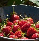 David's Garden Seeds Fruit Strawberry Elan D3893STRA (Red) 25 Hybrid Seeds