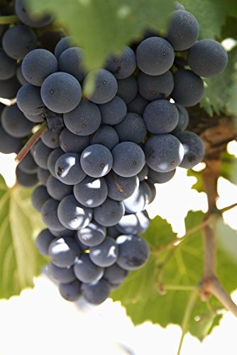 grapes on a vine - 3