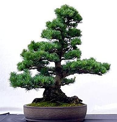 Bristlecone Pine 15 Seeds - Bonsai