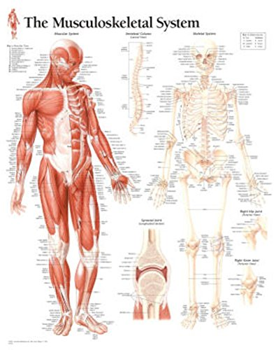 Musculoskeletal System chart: Wall Chart