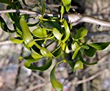 Real Mistletoe Preserved