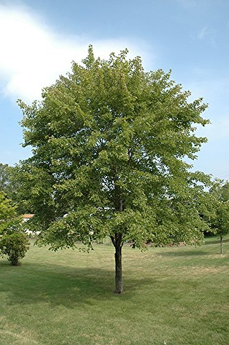 October Glory Red Maple Tree - 6-7 Feet Tall - Light Branching by New Life Nursery & Garden (Image #1)