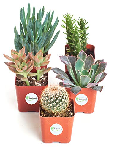 "Shop Succulents | Assorted Collection of Live Succulent Plants, Hand Selected Variety Pack of Mini Succulents | | Collection of 5 in 2"" pots"
