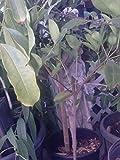 9EzTropical - Grumichama Cherry Nice Plant - 2 Feet Tall - Ship in 1 Gal Pot