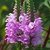Obedient Plant Pink Manners Flower Seeds (Physostegia Virginiana) 50 Seeds