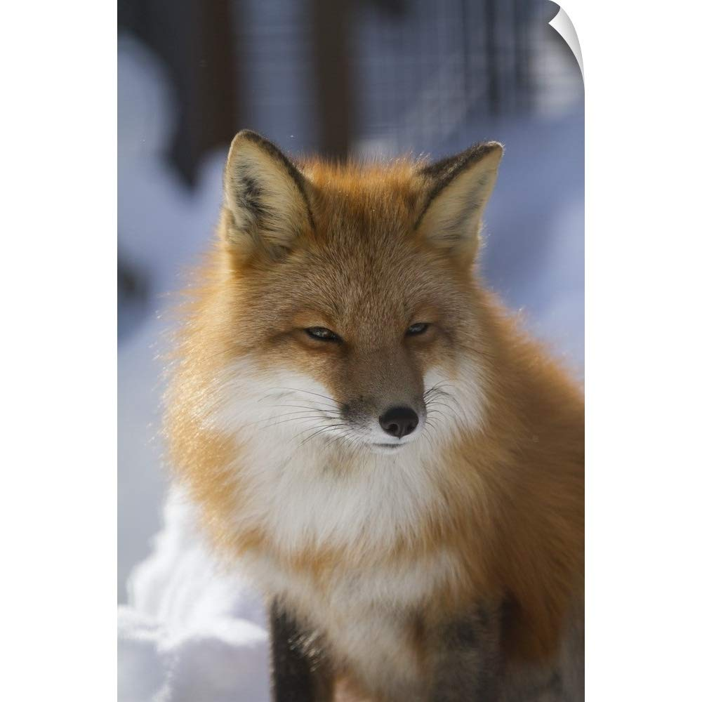 "CANVAS ON DEMAND Doug Lindstrand Wall Peel Wall Art Print Entitled an Adult Red Fox in The Anchorage Area of Alaska 12""x18"""