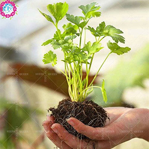 Plant Organic Four. Seasons 100 pcs/Bag Coriander Seasons Parsley Aroma Natural Edible Organic Vegetable Green Plant DIY for Home Garden