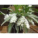 Orquídea Rodriguezia Adulta