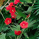 Outsidepride Cardinal Climber Vine Plant Seed - 500