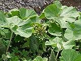 HOT - Petasites Albus Huge Leaves Perennial Seeds