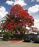 Brachychiton acerifolius - Illawara Flame Tree - 10 Fresh Seeds