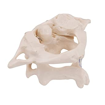 3B Scientific A71 Atlas and Axis w/out stand - 3B Smart Anatomy