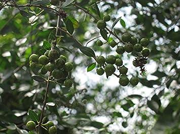 Haritham Rare Henna Tree Lawsonia Inermis Mailanchi Mehadni