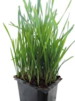 Non-GMO, Thunder Acres Premium Wheat Seed, Cat Grass Seed, Wheatgrass, Hard Red Winter Wheat (1 lbs.)