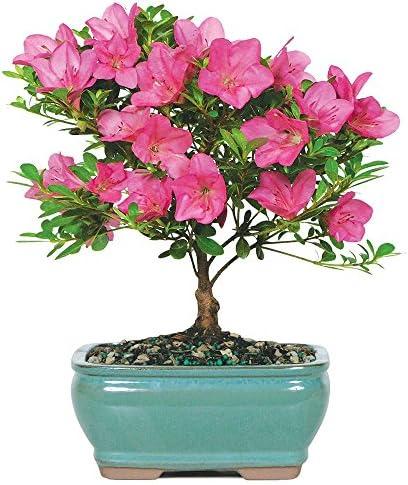 Jade plant problems leaves dropping off brussels satsuki azalea bonsai small outdoor mightylinksfo