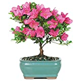 Brussel's Satsuki Azalea Bonsai - Small - (Outdoor)