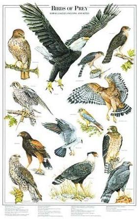 Amazon Com Birds Of Prey Poster And Identification Chart Vol 1 Eagles And Hawks Artist Karen Pidgeon Posters Prints