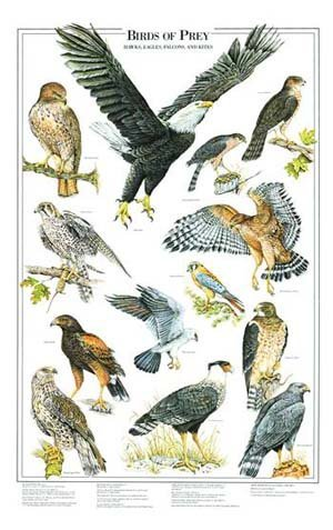 Birds of Prey Poster and Identification Chart