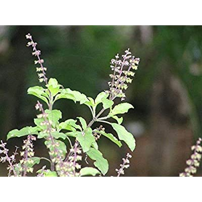 50 Seeds: Indian holy Organic tulsi Basil Seeds Home Made for Plants ayurvedic : Industrial & Scientific