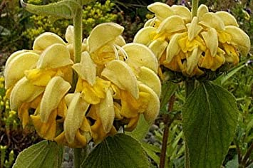 Amazon phlomis77 seeds jerusalem sage unique whorls of phlomis77 seeds jerusalem sage unique whorls of bright yellow flowers mightylinksfo